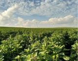 蒙藜藜麦种植基地