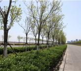 城渔泽路玉砂道行道树养护